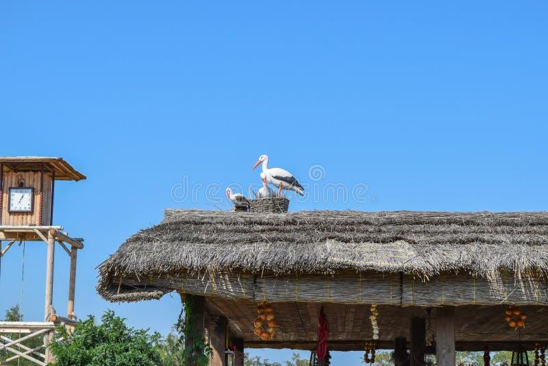 Figure des cigognes sur le toit couvert de chaume images stock