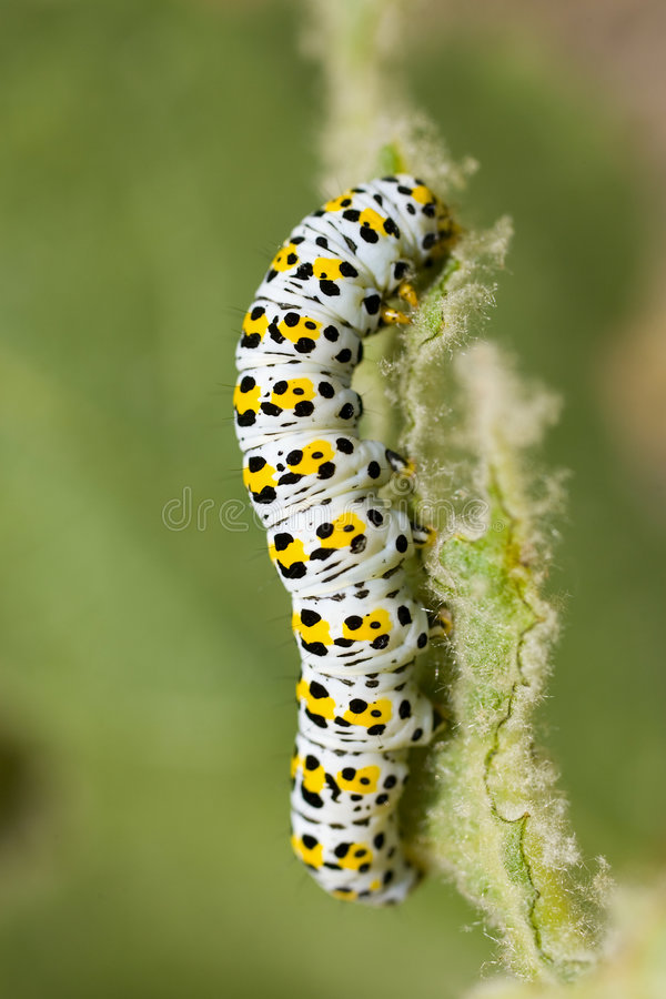 Figure of Eight moth caterpillar royalty free stock images