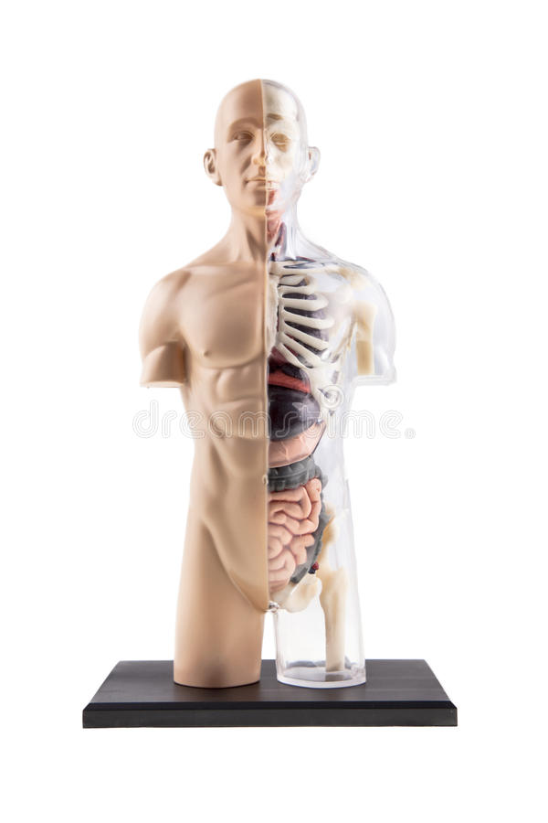 Figure Of Human Body - Bones and Organs. Cross-Section Diagram Of Human Body - Bones and Organs stock photo