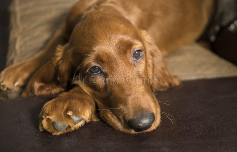 Fijación canina joven de la capa del moho de Irish Setter fotos de archivo libres de regalías