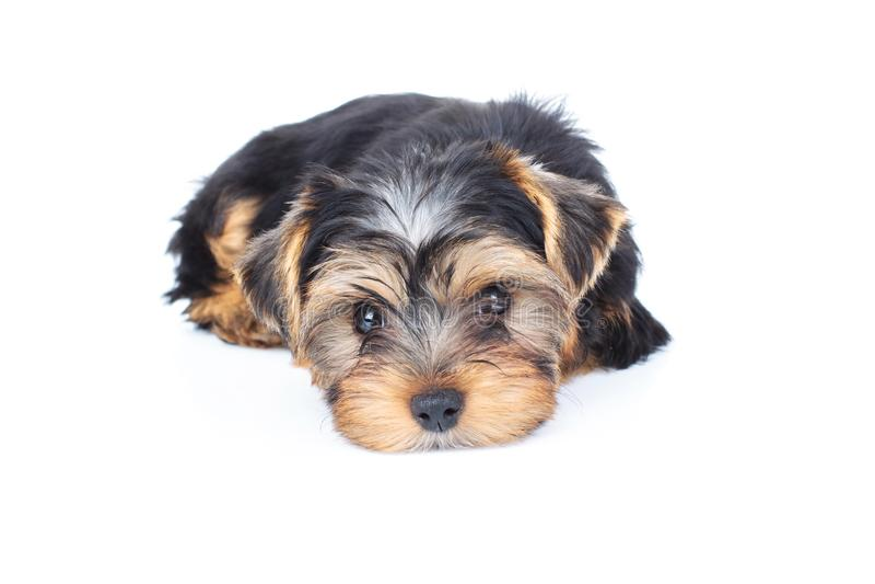 Fijación cansada y triste del perro de perrito foto de archivo libre de regalías