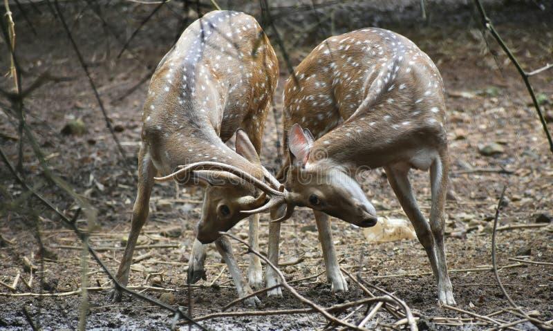 Fijación de ciervos del cuerno foto de archivo