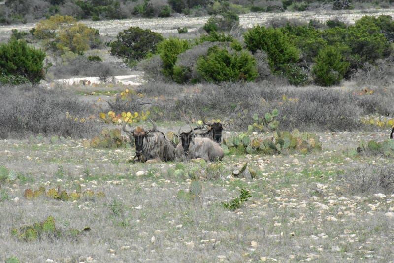 Fijación de tres ñus foto de archivo