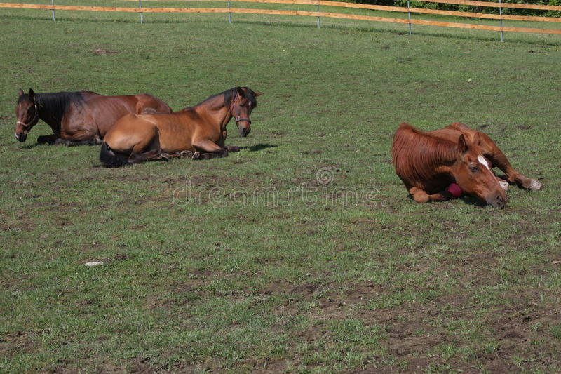 Fijación del caballo fotografía de archivo libre de regalías