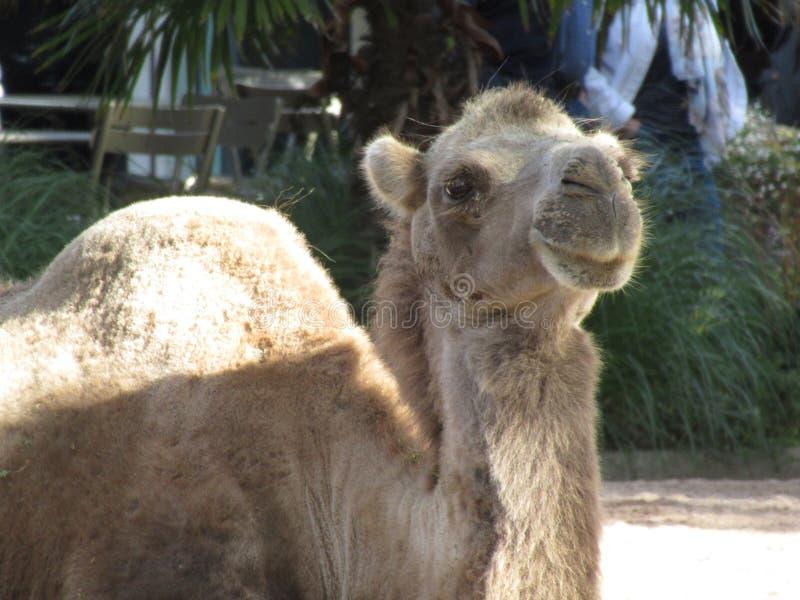 Fijación del camello imágenes de archivo libres de regalías