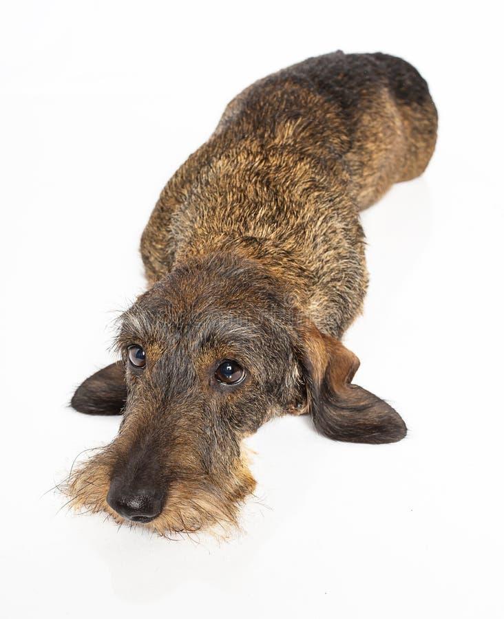 Fijación del perro del weiner de Brown fotos de archivo