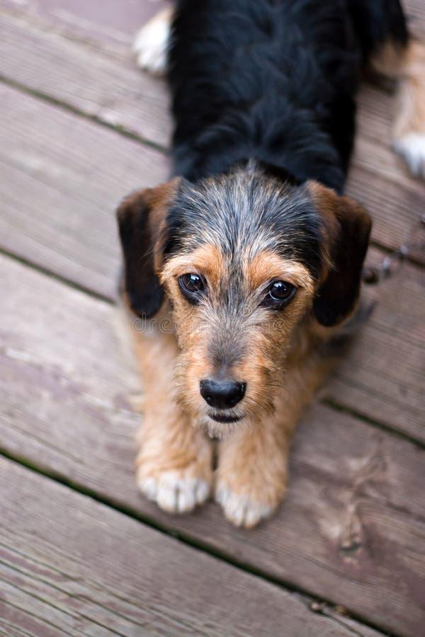 Fijación linda del perro de perrito imagenes de archivo