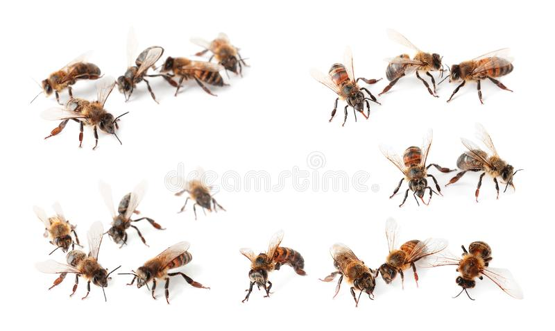 Fijado con las abejas de la miel foto de archivo