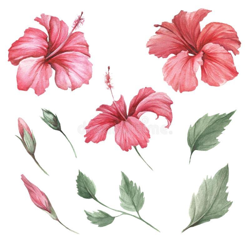 Fije con el hibisco de las flores Ejemplo de la acuarela del drenaje de la mano libre illustration
