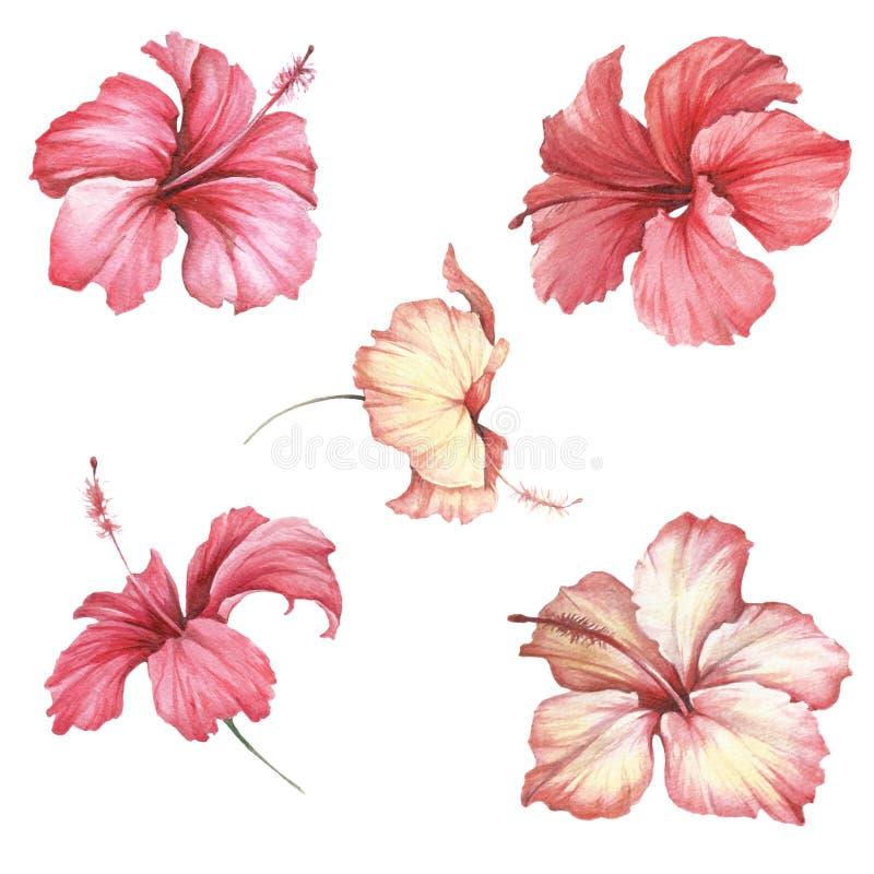 Fije con el hibisco de las flores Ejemplo de la acuarela del drenaje de la mano stock de ilustración