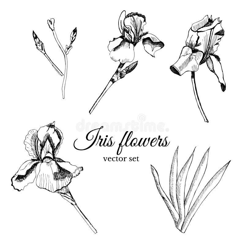Fije con la mano que el bosquejo gráfico dibujado de las flores del verano irisa con las hojas y el brote libre illustration