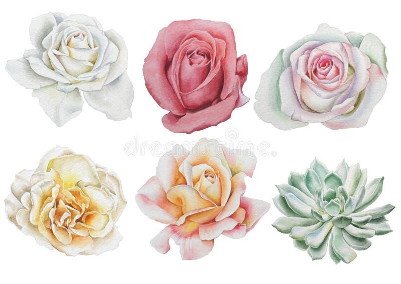 Fije con las flores de la acuarela Rose succulents fotografía de archivo libre de regalías