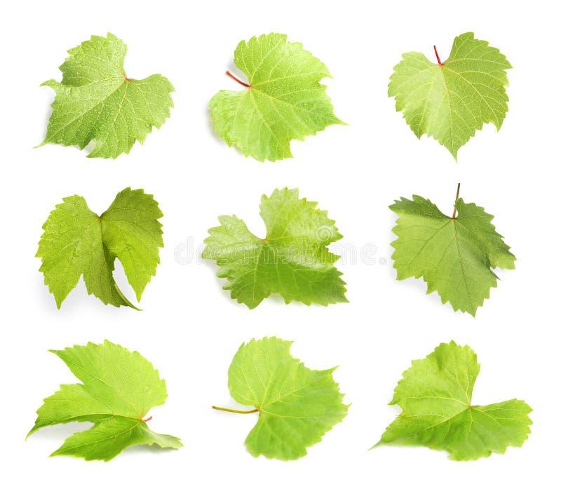 Fije con las hojas verdes de la uva fotos de archivo