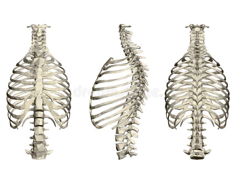 Fije con ribcage y la espina dorsal humanos 3d Frente, lado y vista posterior Ilustración del vector stock de ilustración