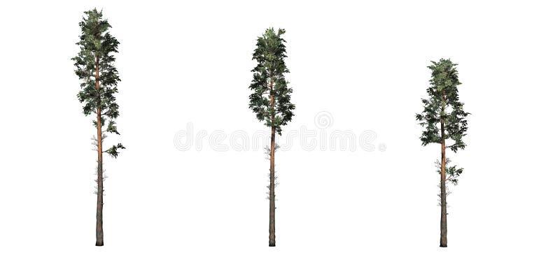 Fije de árboles de pino escocés stock de ilustración