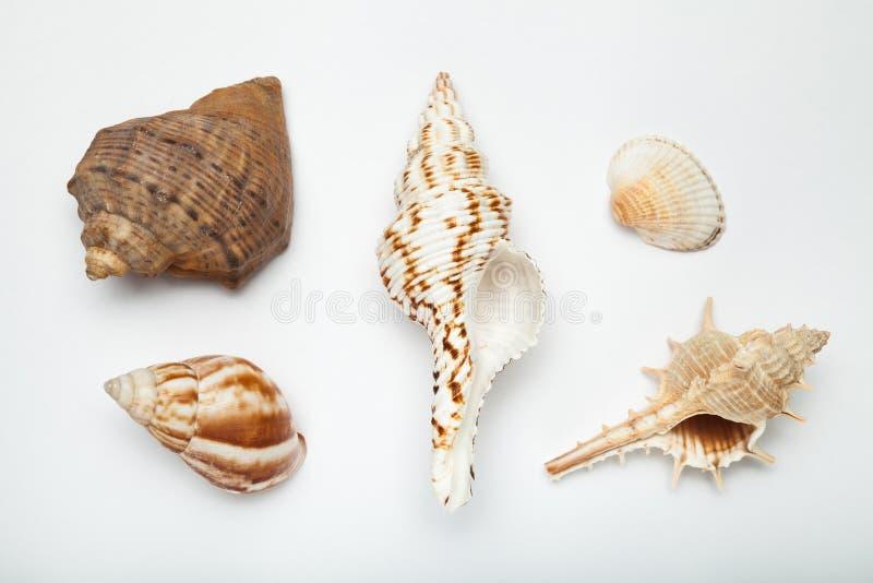 Fije de cáscaras exóticas en un fondo blanco fotografía de archivo libre de regalías