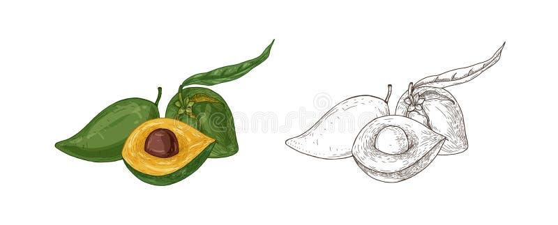 Fije de dibujos coloridos y monocromáticos de la fruta del lucuma con la hoja Cosecha comestible exótica fresca, producto del sup libre illustration