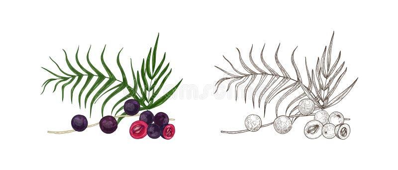 Fije de dibujos coloridos y monocromáticos de las bayas y de las hojas de palma del acai Producto de Superfood, mano del suplemen ilustración del vector