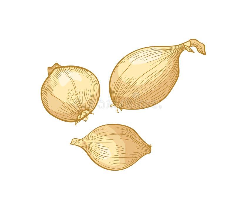 Fije de dibujos detallados elegantes de los bulbos de la cebolla Verduras maduras orgánicas frescas crudas, cosecha comestible o  ilustración del vector