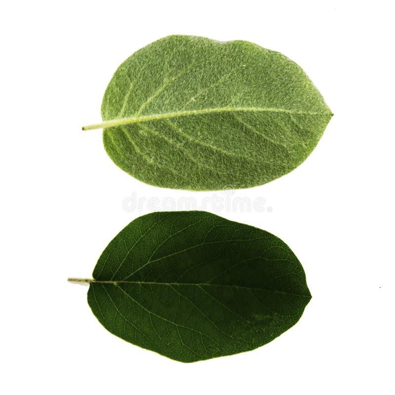 Fije de dos hojas verdes del membrillo aisladas en el lado blanco del fondo, superior e inferior de la hoja imagen de archivo libre de regalías