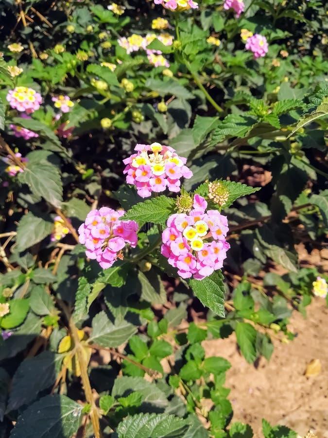 Fije de flores rosadas con el centro amarillo fotos de archivo libres de regalías