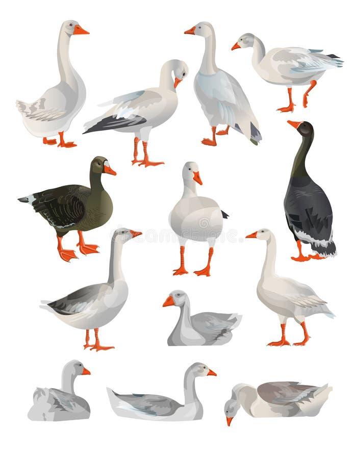 Fije de gansos del vector ilustración del vector