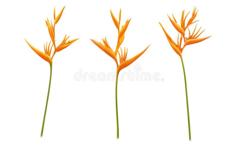 Fije de la flor tropical del Strelitzia de la ave del para?so amarilla de los reginae en el fondo blanco, ejemplo digital bot?nic foto de archivo