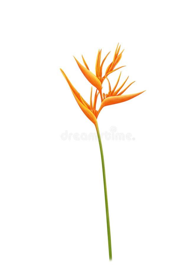 Fije de la flor tropical del Strelitzia de la ave del para?so amarilla de los reginae en el fondo blanco, ejemplo digital bot?nic fotos de archivo libres de regalías