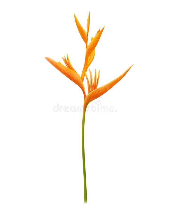 Fije de la flor tropical del Strelitzia de la ave del para?so amarilla de los reginae en el fondo blanco, ejemplo digital bot?nic imagen de archivo libre de regalías
