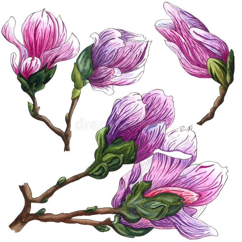 Fije de las flores de la magnolia del rosa de la acuarela Rama de la magnolia con las flores y las hojas ilustración del vector