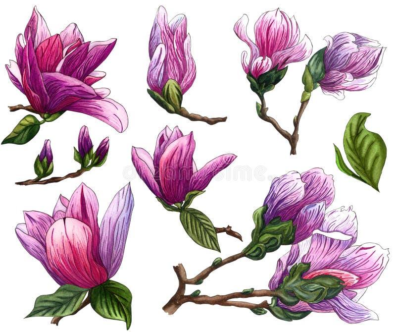 Fije de las flores de la magnolia del rosa de la acuarela Rama de la magnolia con las flores y las hojas libre illustration