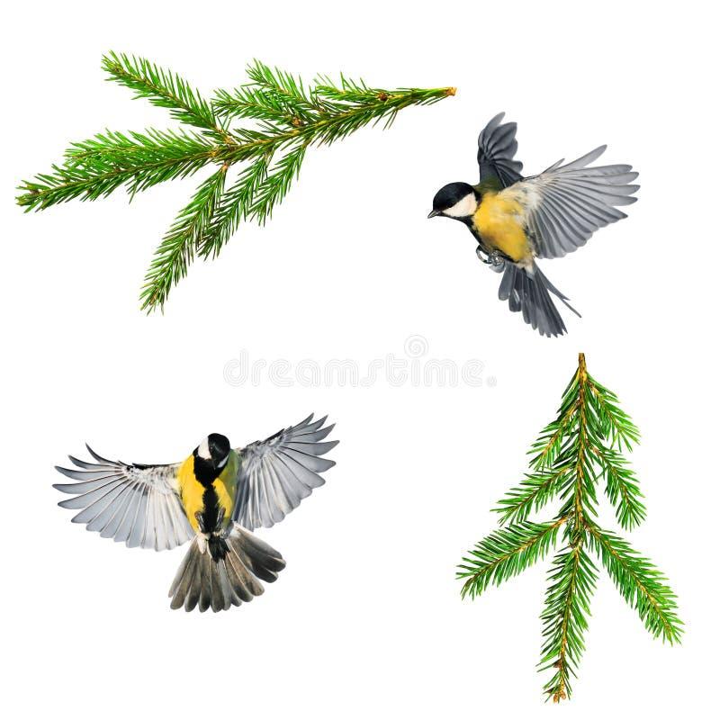 Fije de las fotos del pájaro de la Navidad del tit y de rama de la picea verde o fotografía de archivo