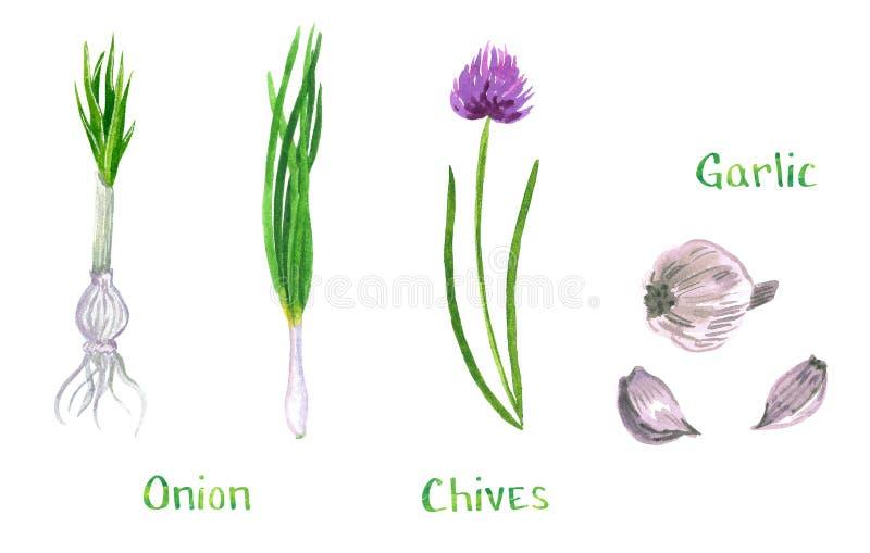 Fije de las hierbas verdes, ajo, cebolletas, cebolla, shalot, puerro, cebolleta libre illustration