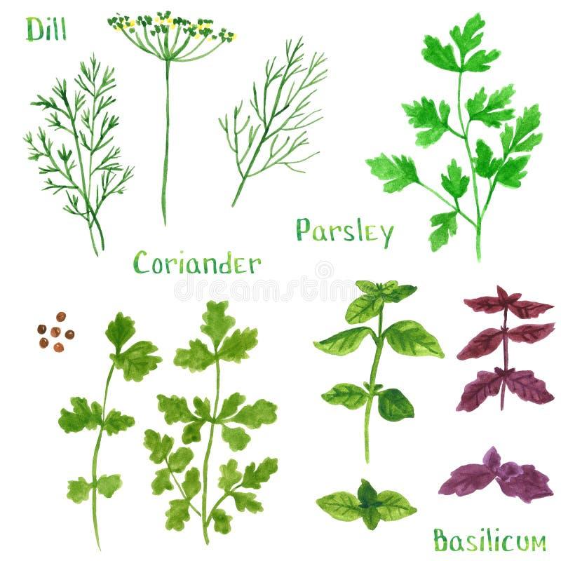 Fije de las hierbas verdes, eneldo, hinojo, coriandro, perejil, ejemplo de la acuarela stock de ilustración