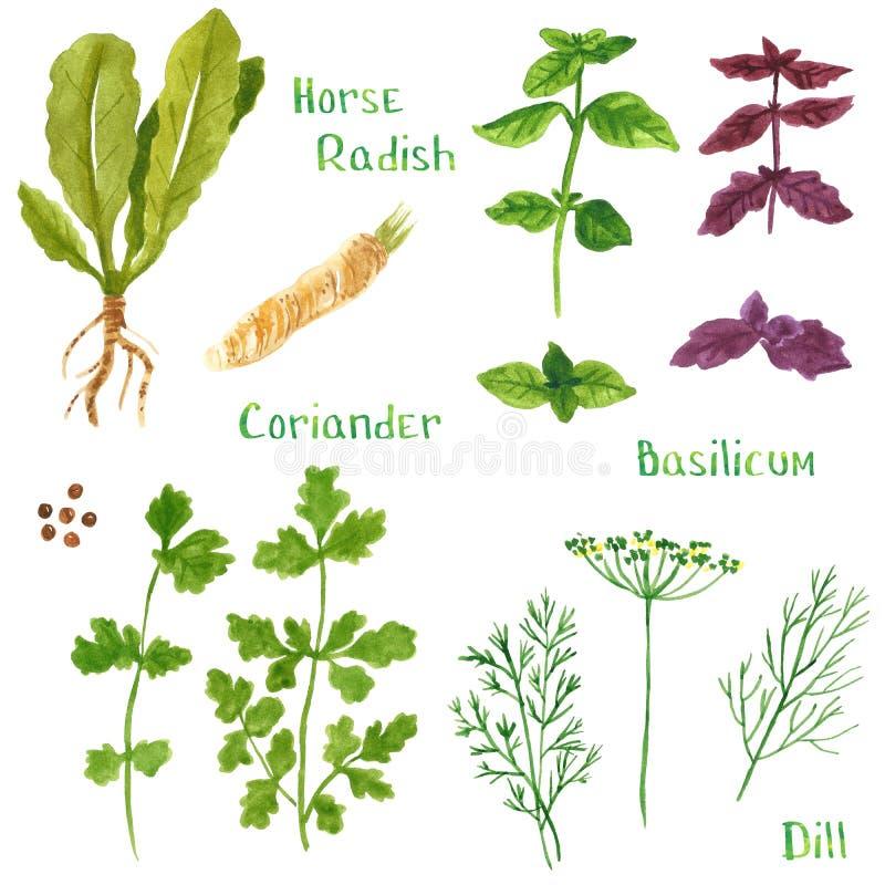 Fije de las hierbas verdes, rábano picante, albahaca, coriandro, perejil, eneldo, hinojo stock de ilustración