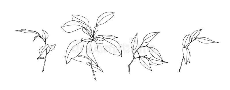 Fije de las hojas exhaustas del esquema de la mano Pintura de la planta por la tinta Ejemplo botánico del vector del bosquejo Hie stock de ilustración