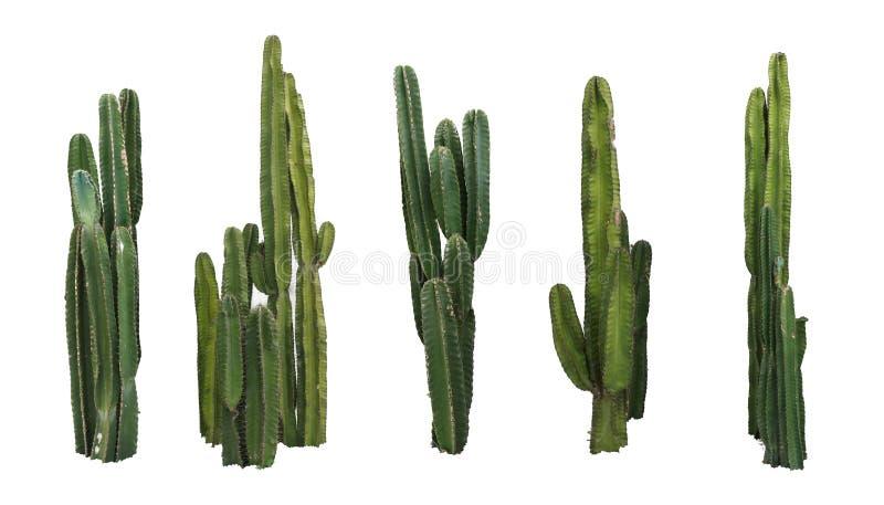 Fije de las plantas reales del cactus aisladas en el fondo blanco foto de archivo libre de regalías