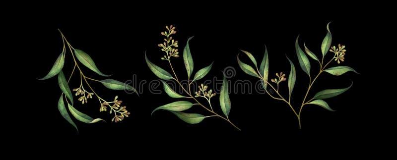 Fije de las ramas sembradas del eucalipto aisladas en fondo negro libre illustration