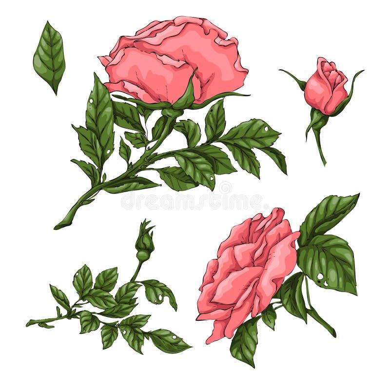 Fije de las rosas coralinas Gr?fico de la mano ilustración del vector