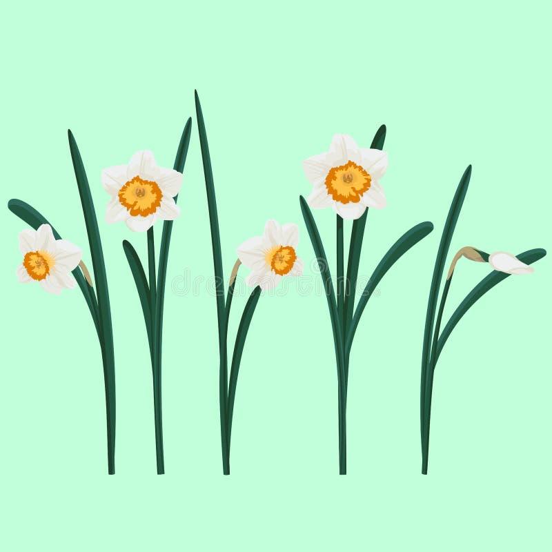 Fije de los narcisos blancos Ilustración del vector fotografía de archivo libre de regalías