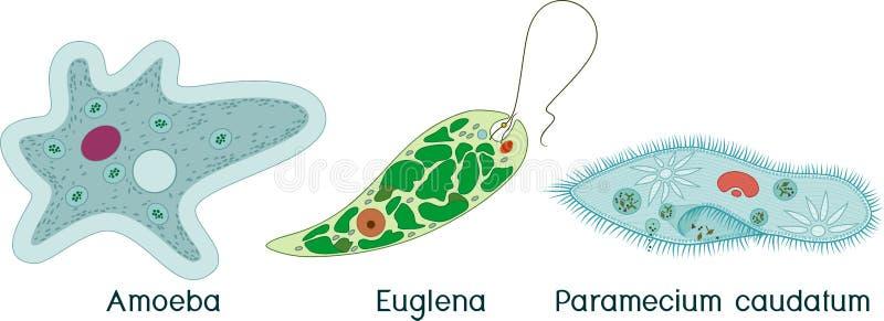 Fije de los protozoos unicelulares de los organismos: Caudatum del Paramecium, proteus de la ameba y viridis de la Euglena stock de ilustración