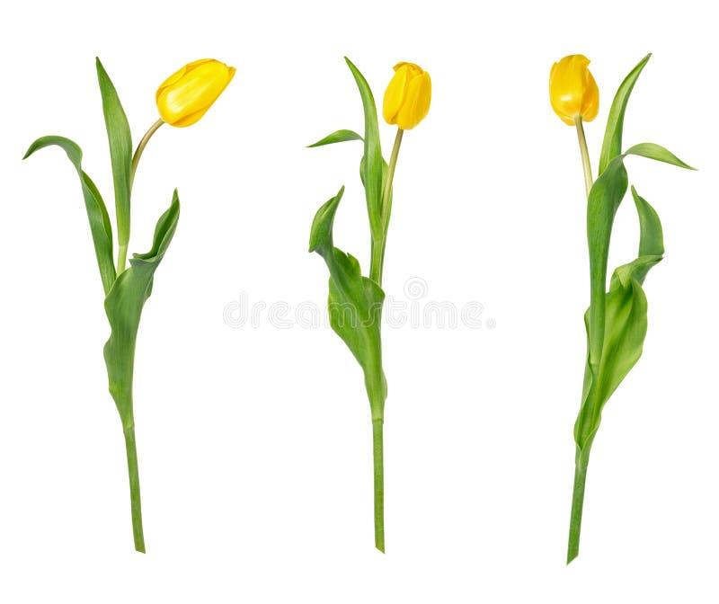 Fije de tres tulipanes amarillos vivos hermosos en troncos largos con las hojas verdes aisladas en el fondo blanco foto de archivo libre de regalías