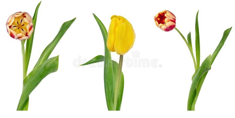 Fije de tres tulipanes rojos y amarillos vivos hermosos en troncos con las hojas verdes aisladas en el fondo blanco imágenes de archivo libres de regalías