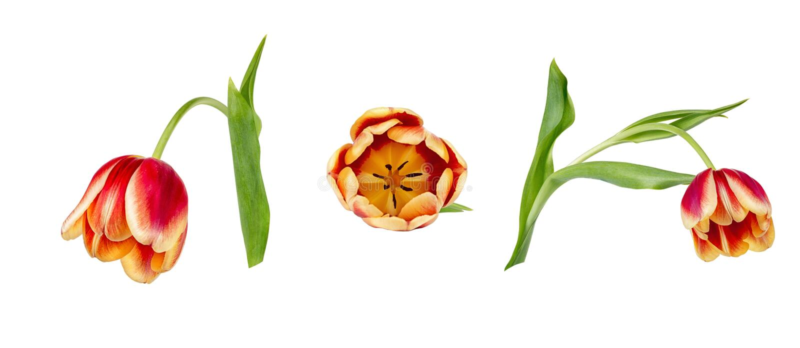 Fije de tres tulipanes rojos y amarillos vivos hermosos en troncos con las hojas verdes aisladas en el fondo blanco foto de archivo libre de regalías