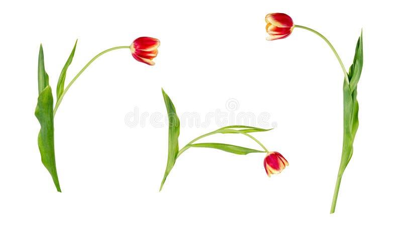 Fije de tres tulipanes rojos y amarillos vivos hermosos en troncos con las hojas verdes aisladas en el fondo blanco imagenes de archivo