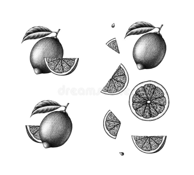 Fije del ejemplo blanco y negro botánico de la tinta exhausta de la mano de la fruta y de las rebanadas, del limón dpi 600 foto de archivo