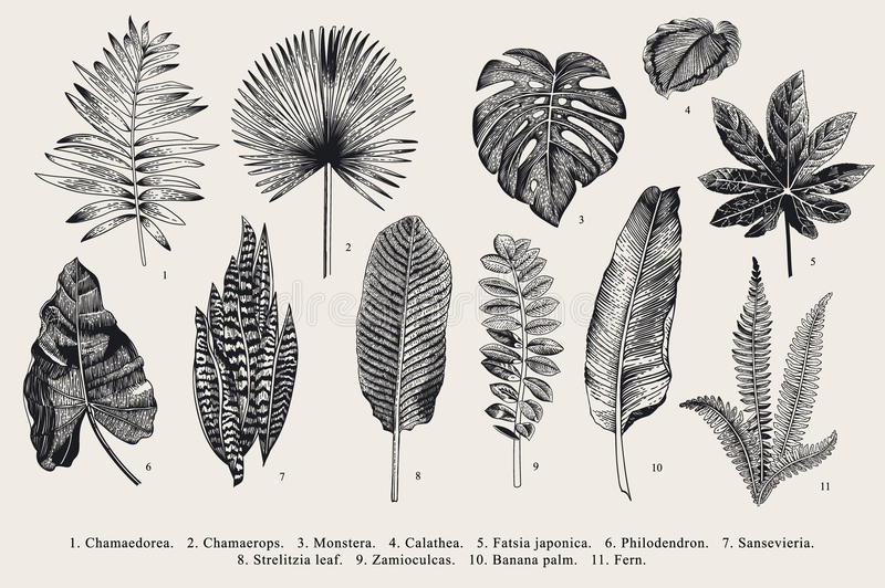 Fije la hoja exotics Ejemplo botánico del vector del vintage stock de ilustración