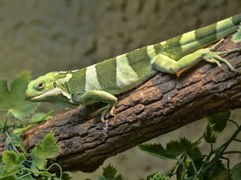 Fiji banded iguana, Brachylophus fasciatus, rare iguana from Fiji royalty free stock image