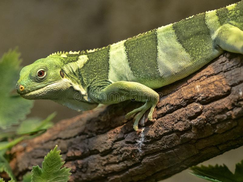 Fiji banded iguana, Brachylophus fasciatus, rare iguana from Fiji stock photography