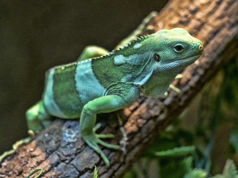 Fiji banded iguana, Brachylophus fasciatus, rare iguana from Fiji royalty free stock photo